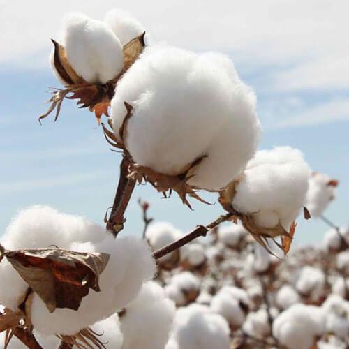 cotton thành phần vải áo sơ mi